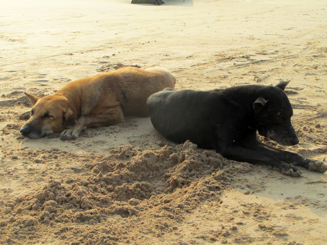 beruwela-rannan-koiria