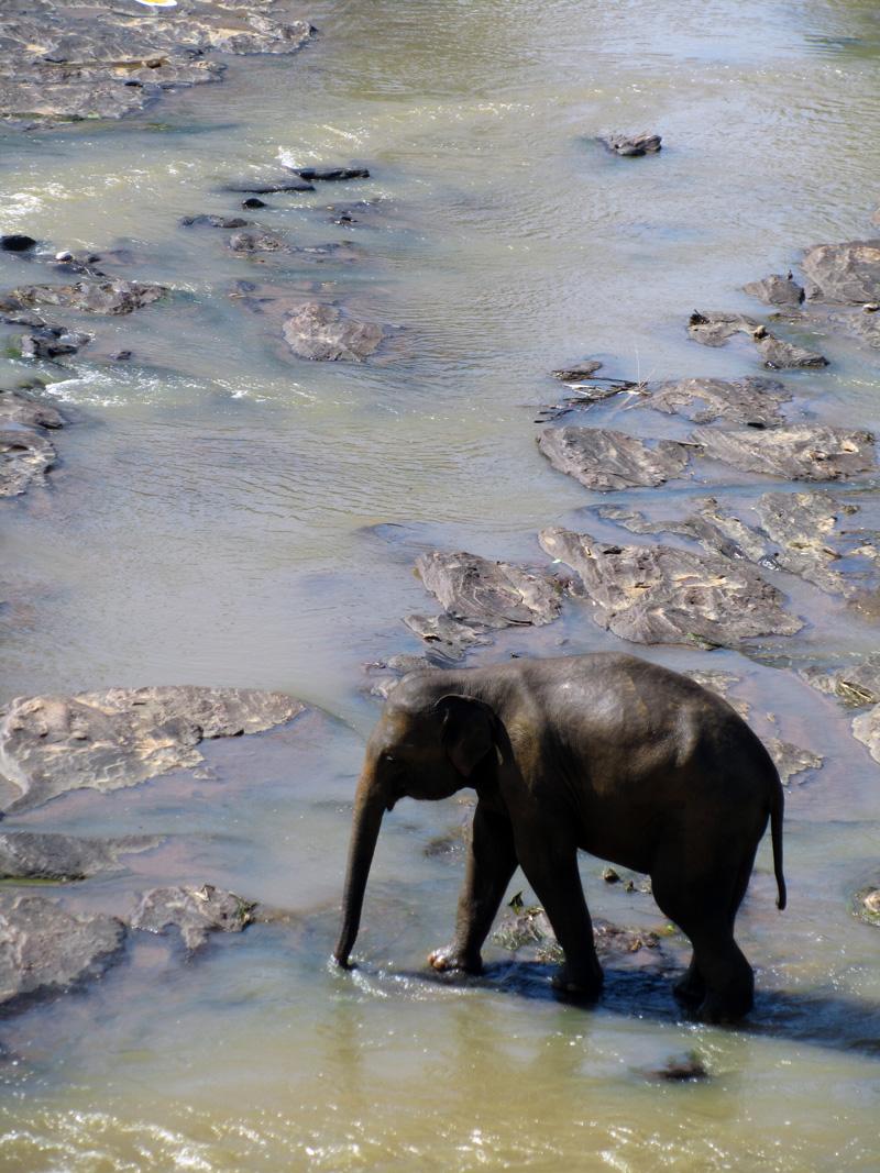 orpokoti-norsu-yksin-uimassa